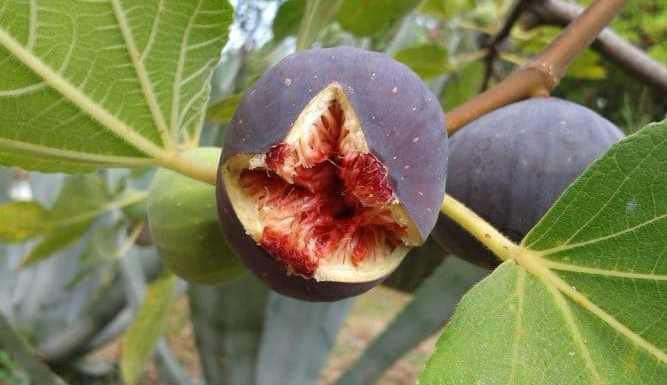 Planting a Fig Tree in your Home Garden