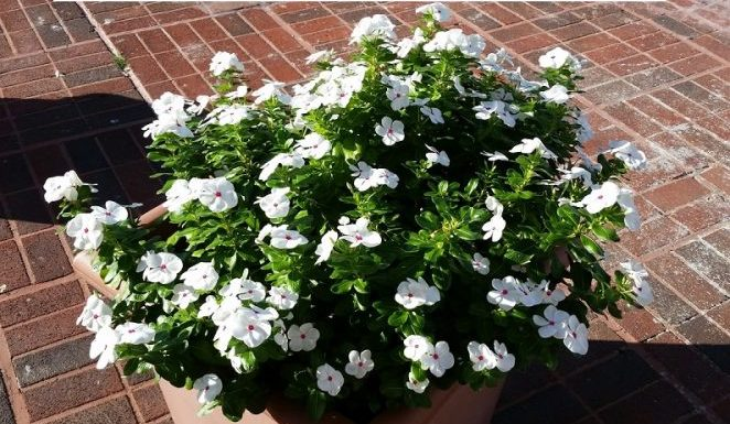 Planting a Gardenia Tree in your Home Garden