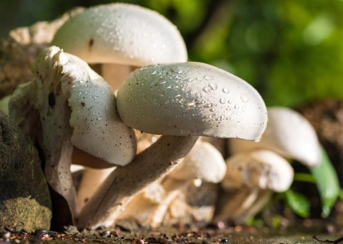 How to Grow White Mushrooms in your Home