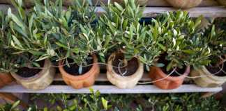 7 Important Facts about Olive Gardening