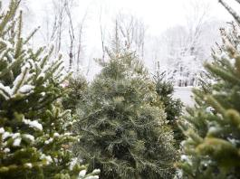 Choosing the Perfect Christmas Tree