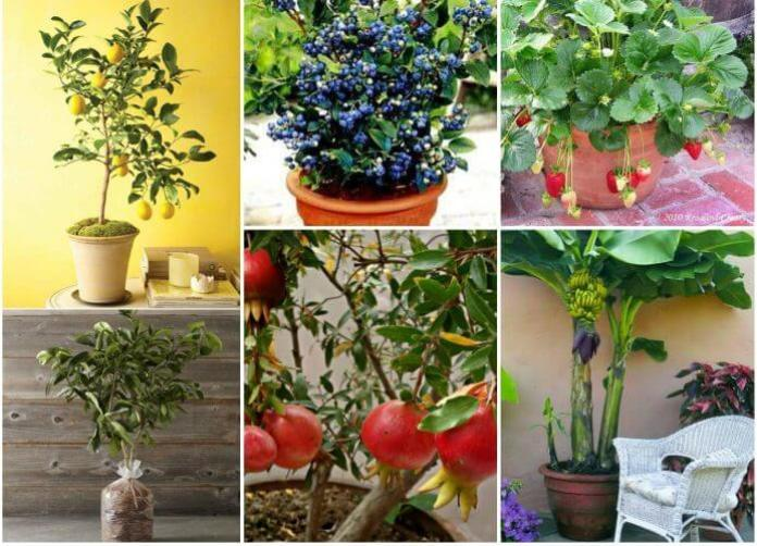 Growing Potted Fruit Trees