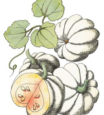 Pumpkin 'Baby Boo' Cucurbita pepo