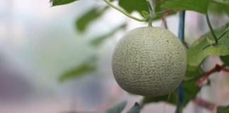 Growing Melons - Get Sweet Satisfaction
