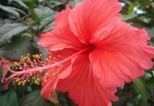 Hibiscus Flower: Description, Caring, Uses