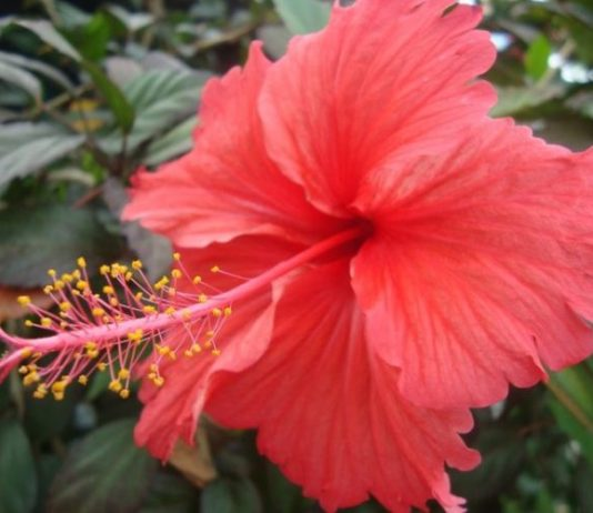 Hibiscus Flower: Description, Caring, Uses
