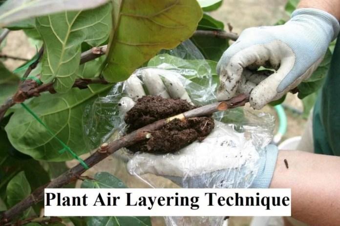 Plant Air Layering Technique