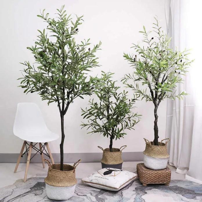 Olive Gardening - Growing Garden Olive Trees