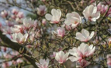 Magical Magnolias, Knowing more About Planting and Caring