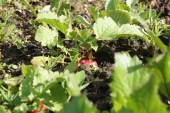 More radish