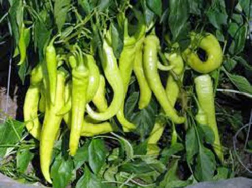 How to grow pepper in container - sweet banana pepper