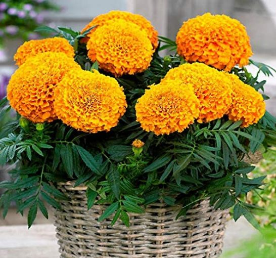 Marigold Flower for the Sun