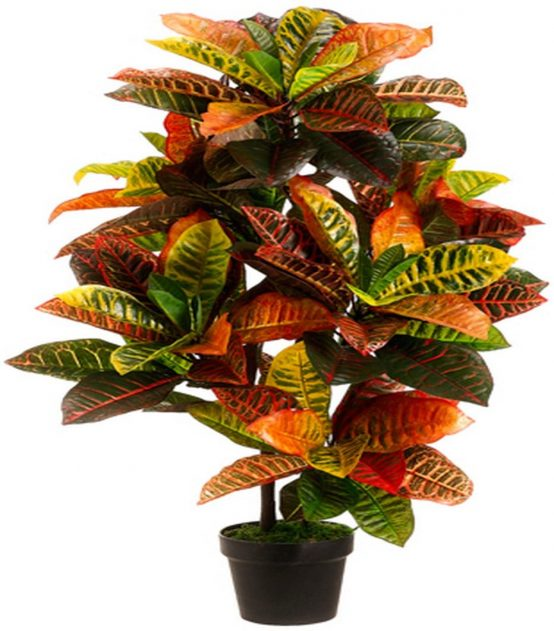 Croton House Plant