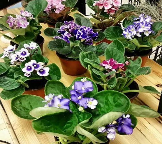 African Violet Plant