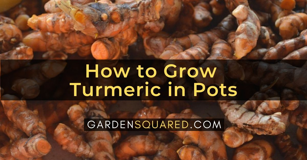 How to Grow Turmeric in Pots