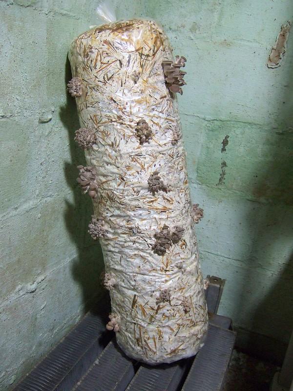 inoculated straw log with pinning