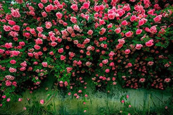 Climbing Colorful Rose Flowers Seeds for Garden Home Balcony Fences Yard Decoration Flowers Plants
