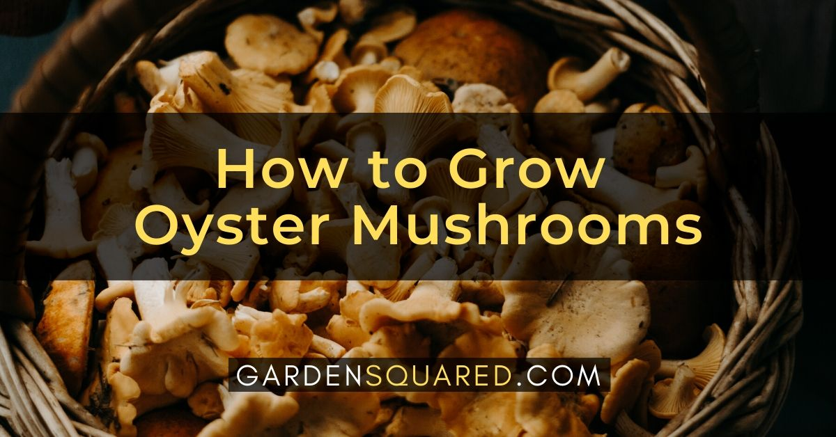 How To Grow Oyster Mushrooms
