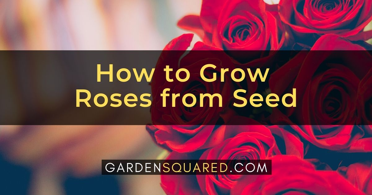 How To Grow Roses From Seed