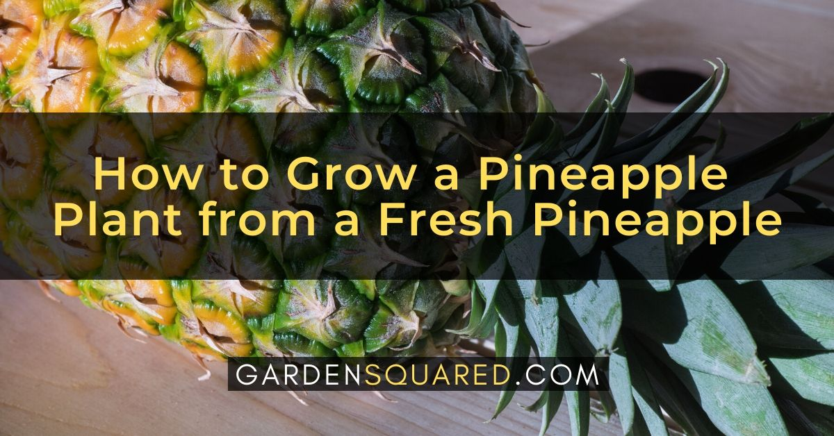 How To Grow A Pineapple Plant From A Fresh Pineapple