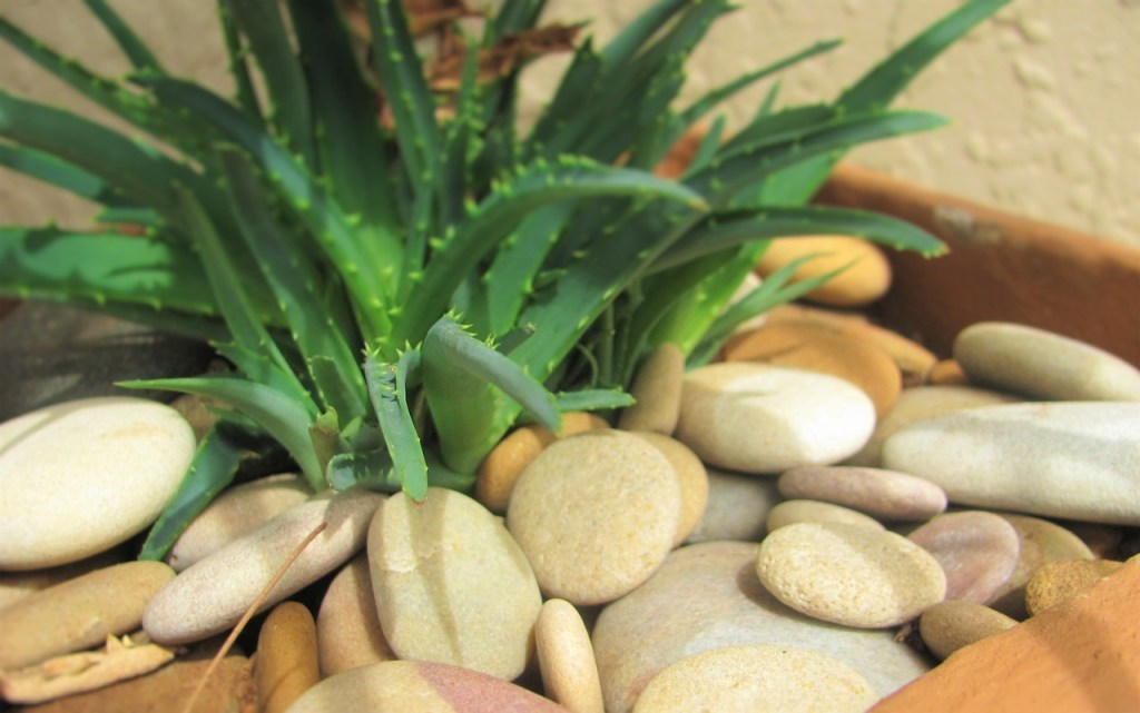 aloe vera plant with rocks