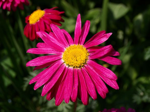 chrysanthemum pink also known as pyrethrum daisy