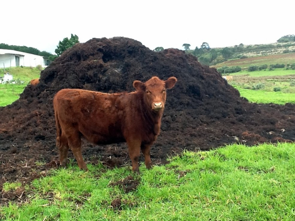 cow manure on a grassland