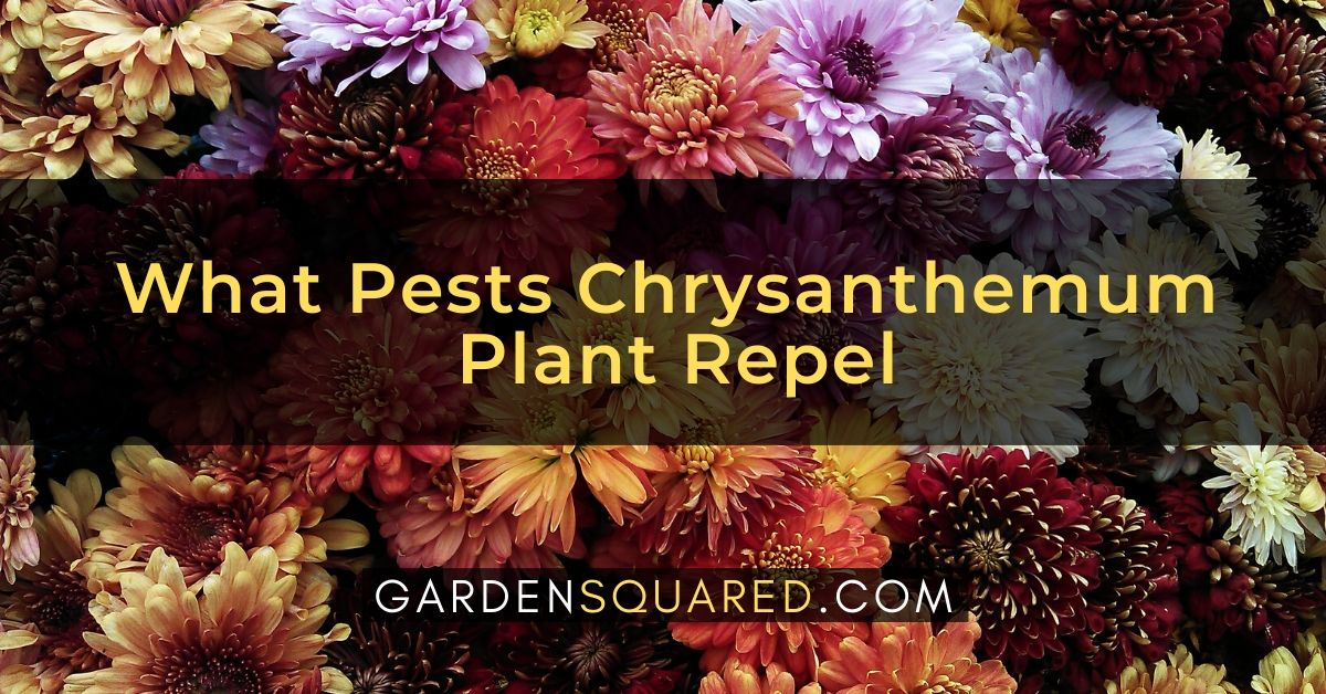 What Pests Chrysanthemum Plant Repel And How To Use It As A Repellent
