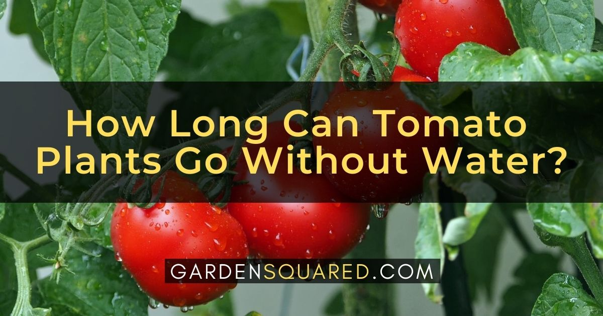 How Long Can Tomato Plants Go Without Water Guide To Watering Tomatoes