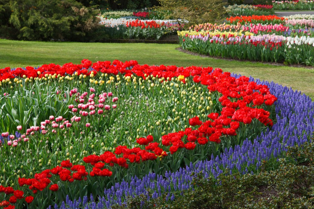 an organized flower garden with red and purple flowers and tulips