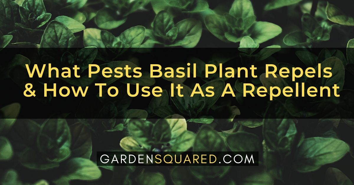 What Pests Basil Plant Repels How To Use It As A Repellent