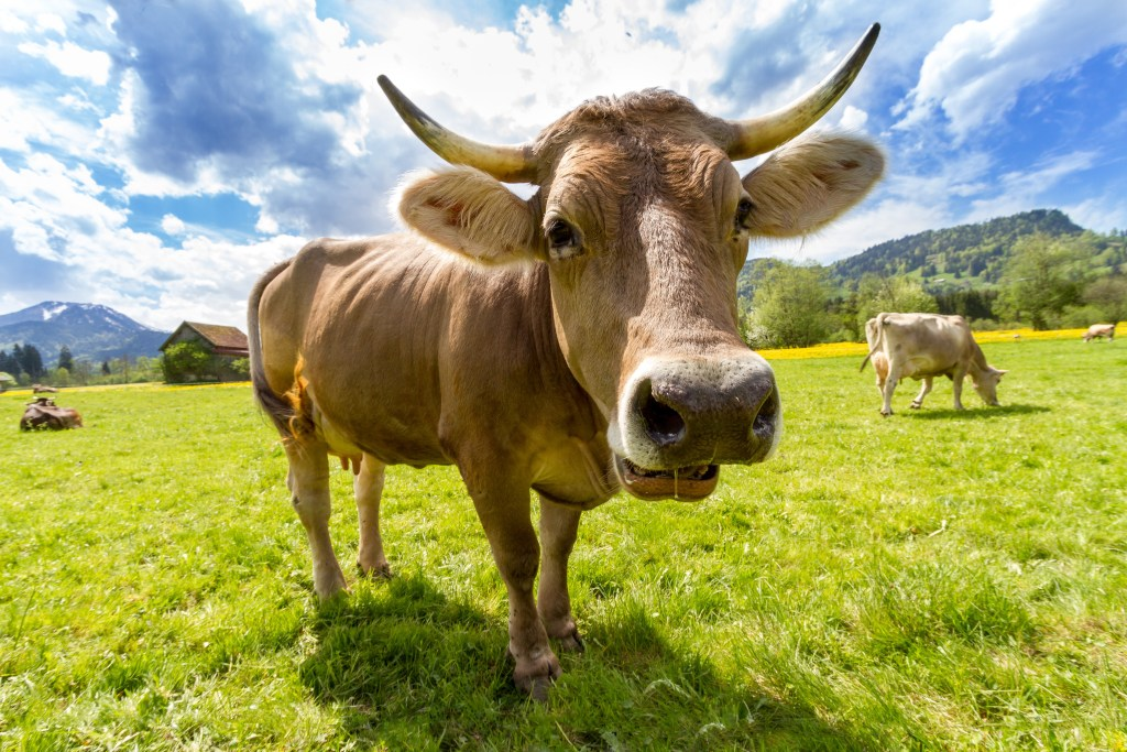 close up photo of a cow grazing on a grassland