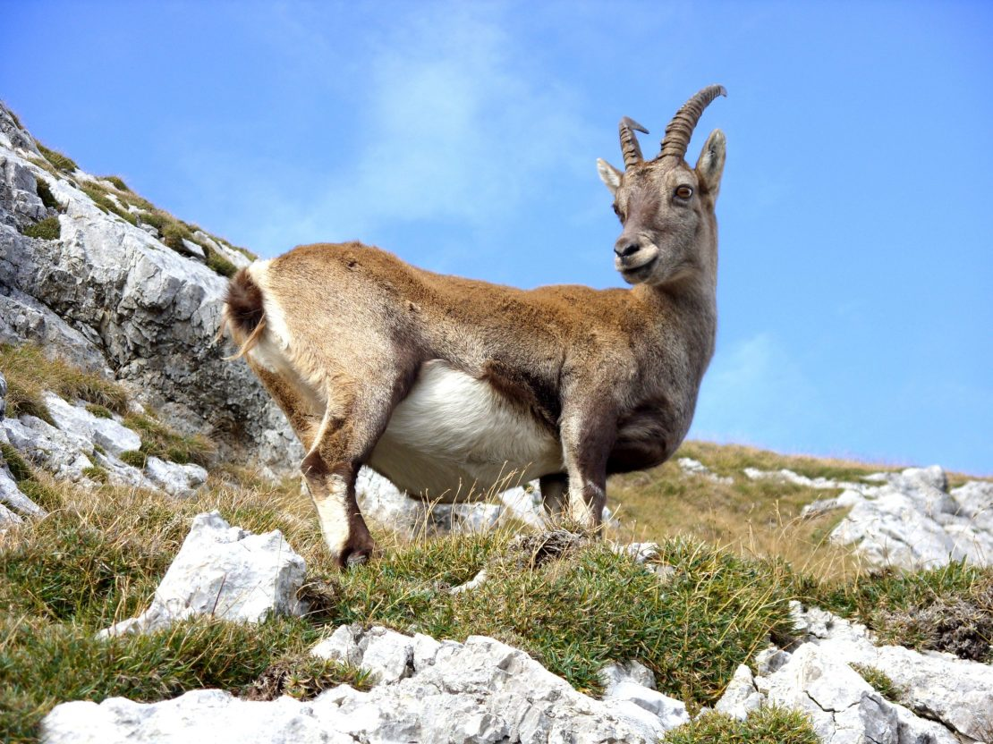 goat standing on a steep area