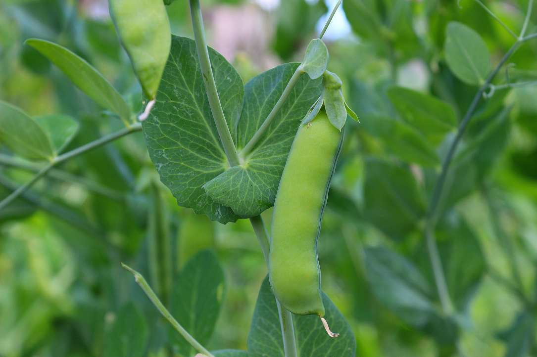 photo of a pea pod