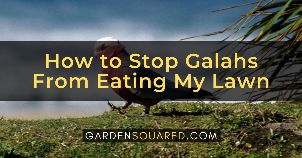 How To Stop Galahs From Eating My Lawn
