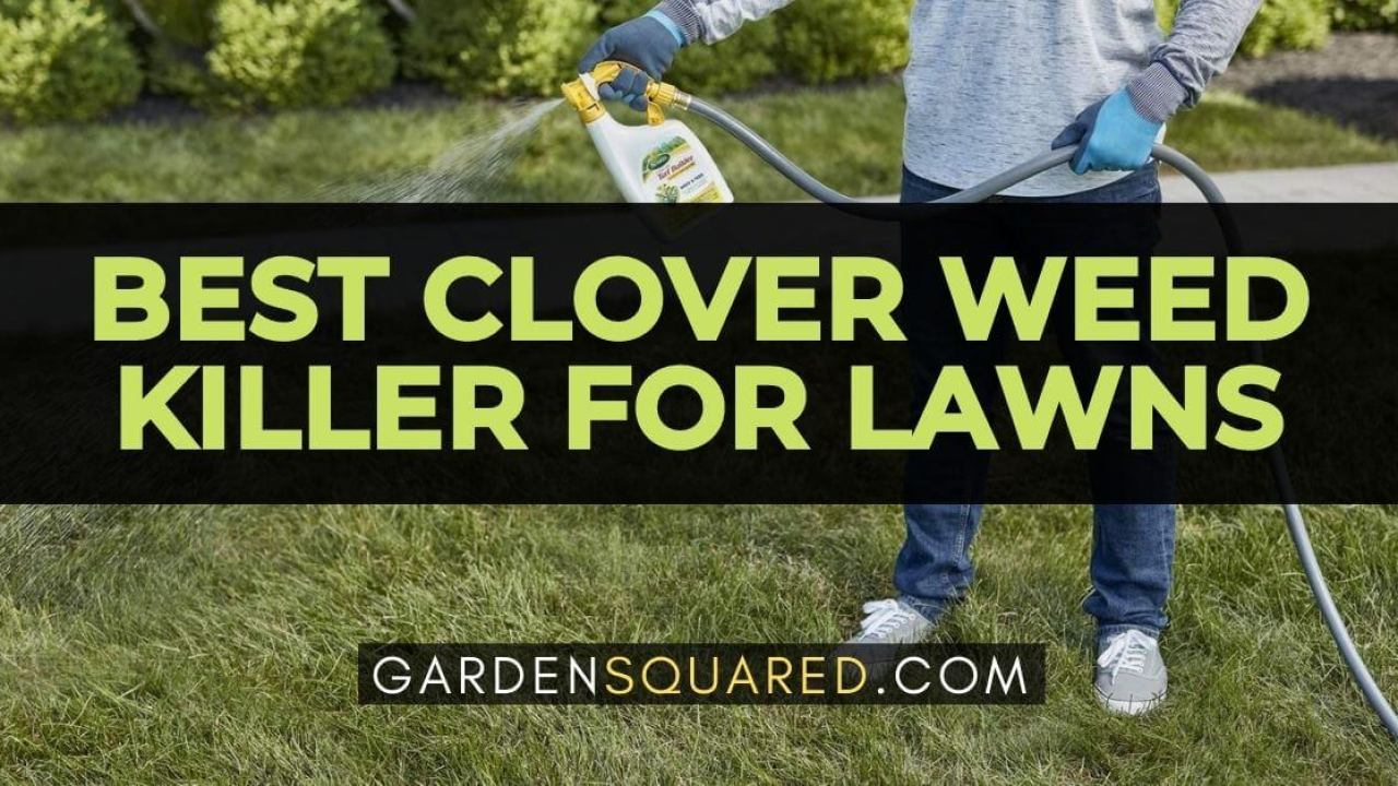The Best Clover Weed Killer For Lawns Get This Tough Weed Out Of Your Lawn February 2021 Gardensquared