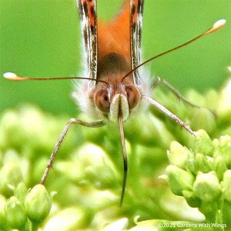 American Lady Proboscis