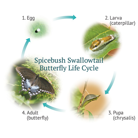 Spicebush Swallowtail Butterfly Life Cycle