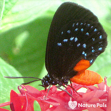 Black butterfly with blue spots