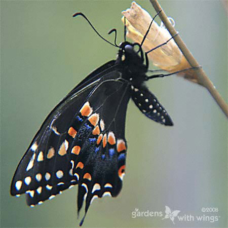 black swallowtail hanging from chrysalis