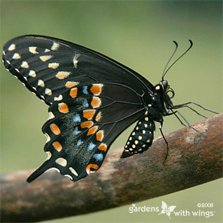 side view of a black butterfly