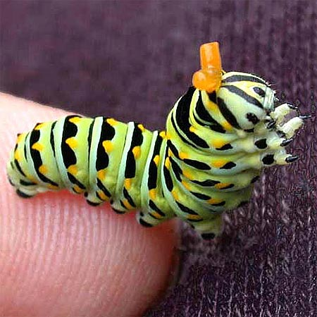 green caterpillar showing orange osmeterium