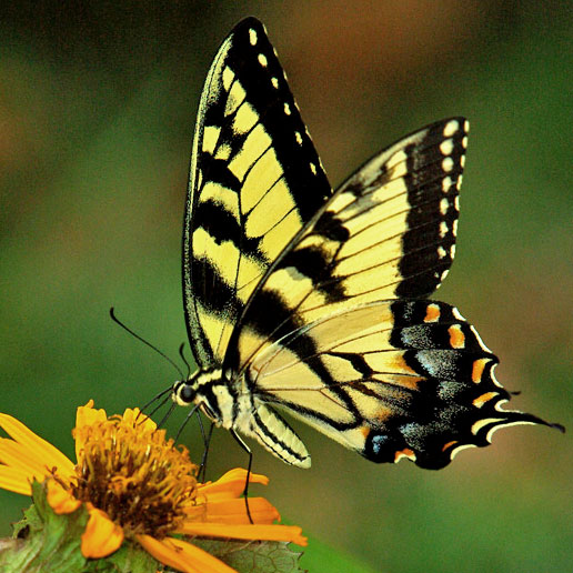 yellow and black butterfly feeding on orange flower