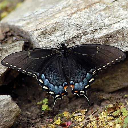 black butterfly wings with blue spots