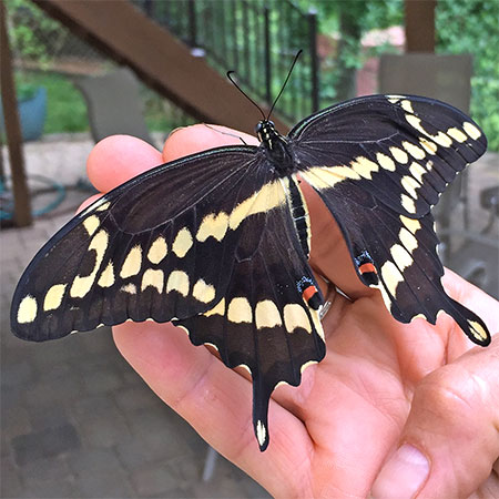 huge black butterfly with yellow markings