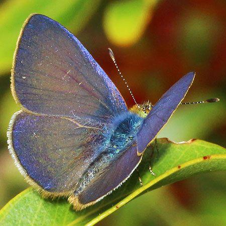 Koa / Hawaiian Blue