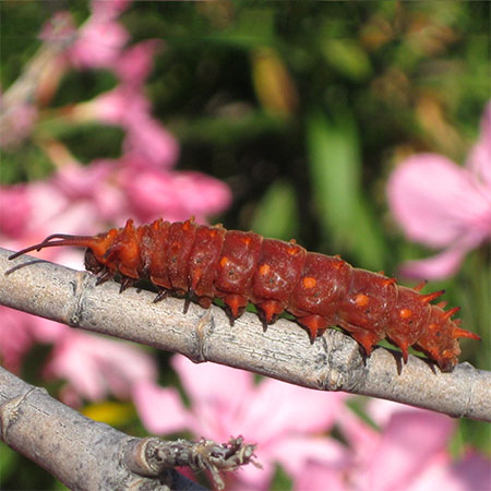 red long pipevine caterpillar