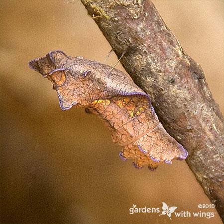tan-brown Chrysalis