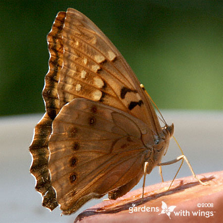 Tawny Emperor Butterfly with Close Wings