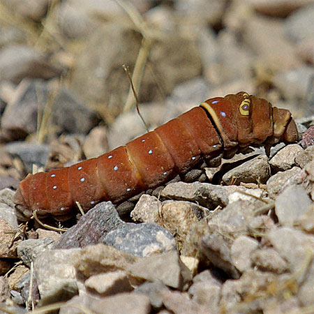 red caterpillar crawling on stones
